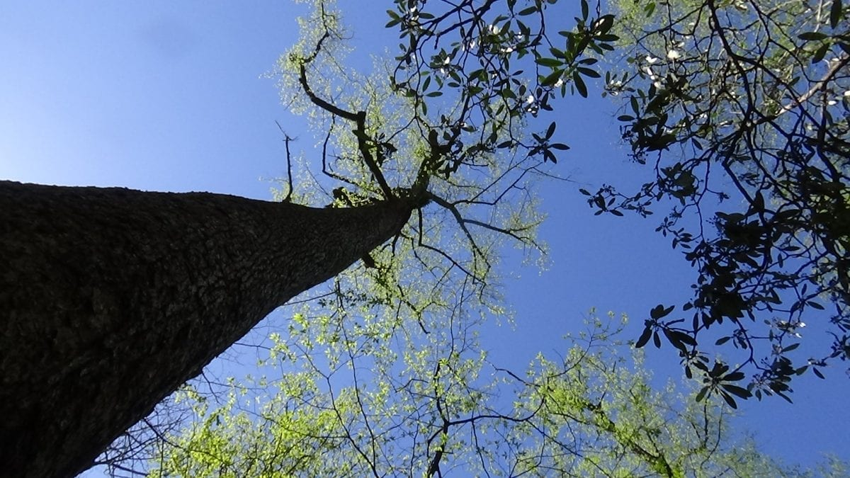 A tall old growth poplar tree outlined against a blue sky